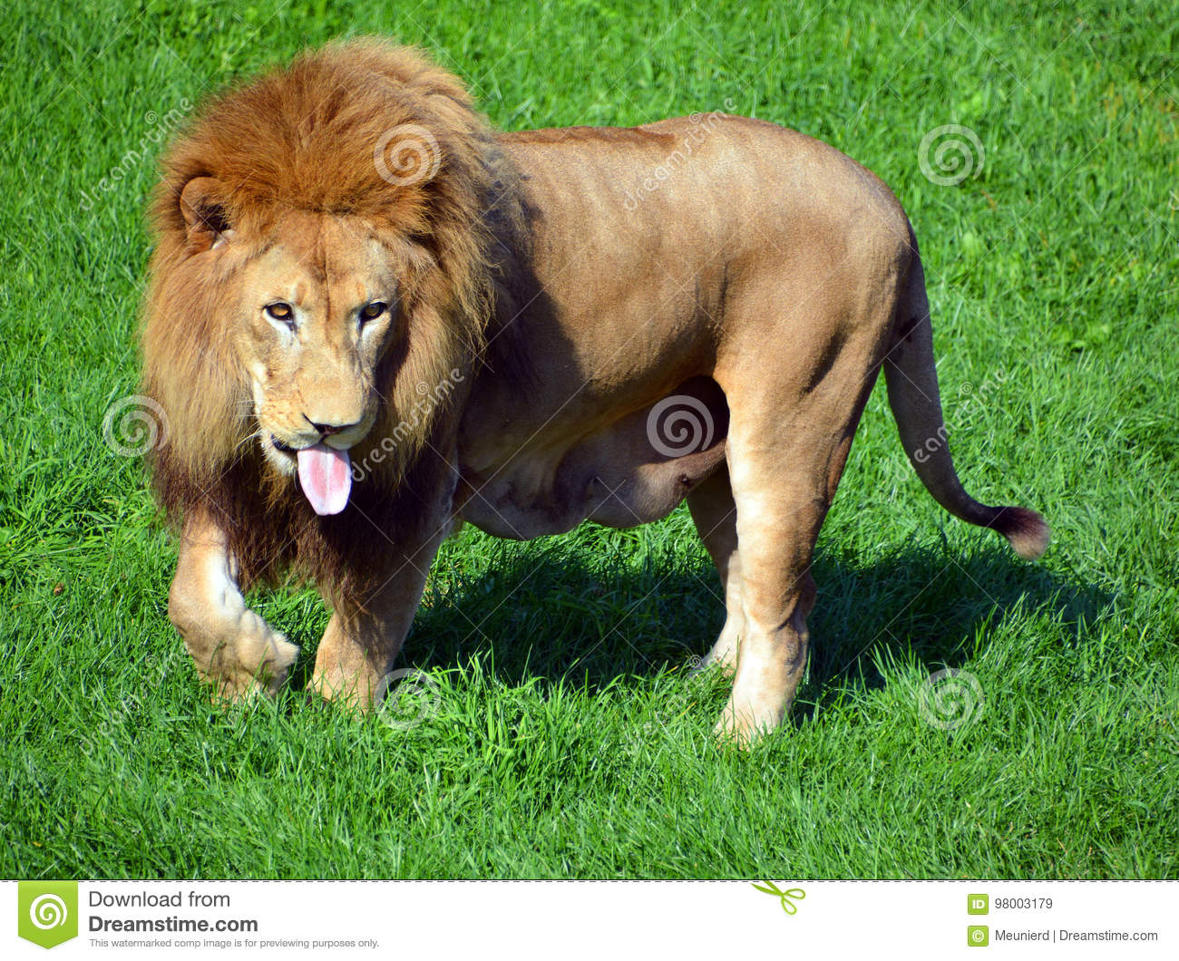 Male Lion Stock Image. Image Of Lion, Lioness, King