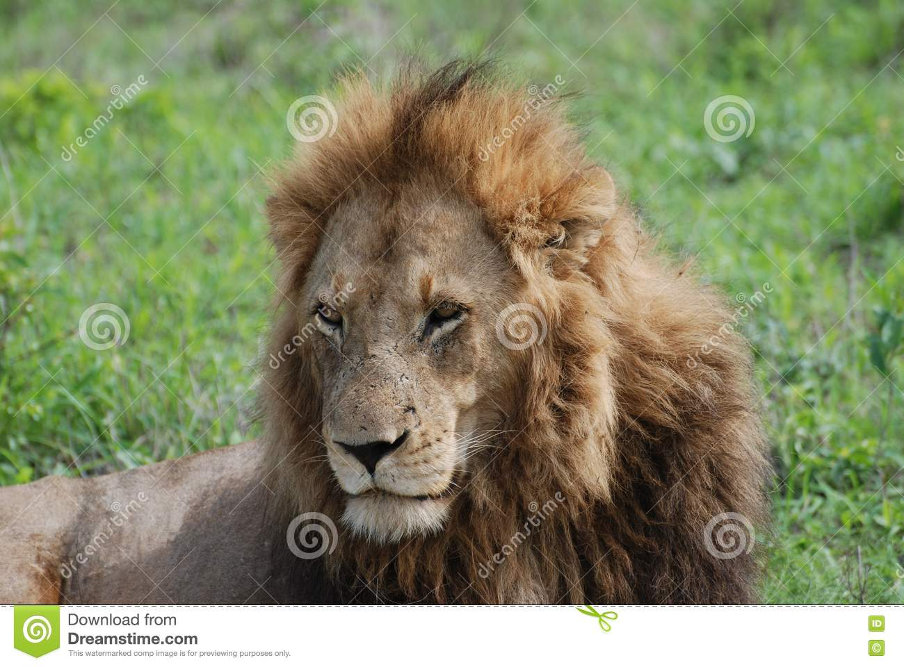 Male Lion King Of The Jungle Stock Photos