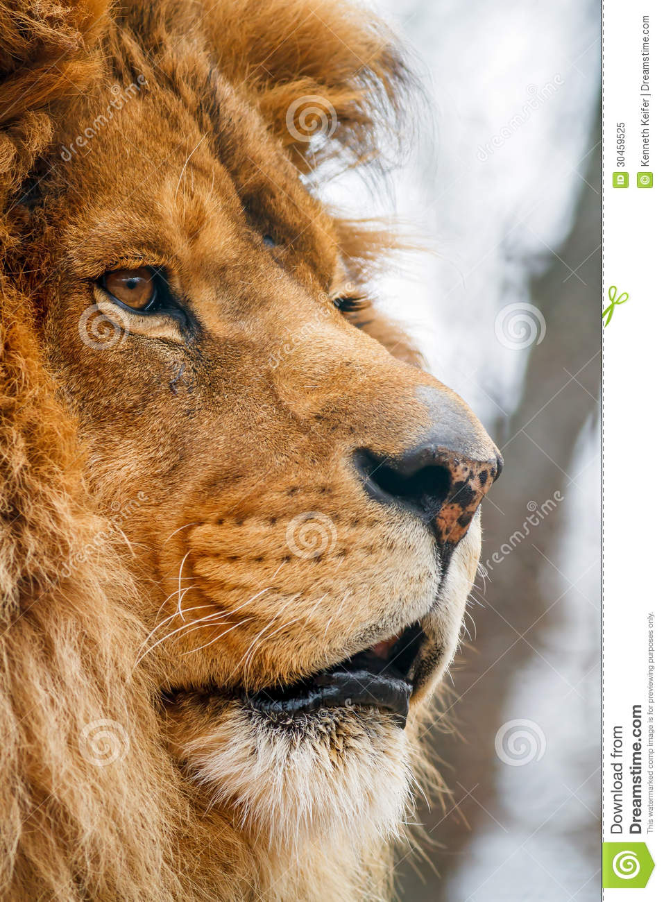 Male Lion In Profile Royalty Free Stock Photo - Image ...