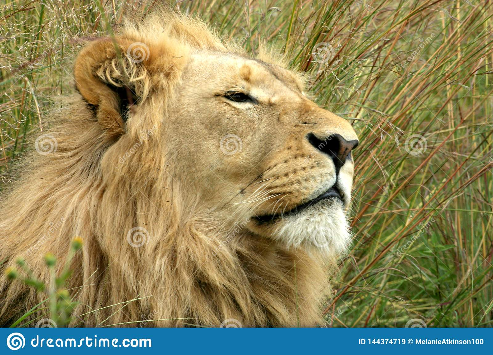 Male lion relaxing in the long grass