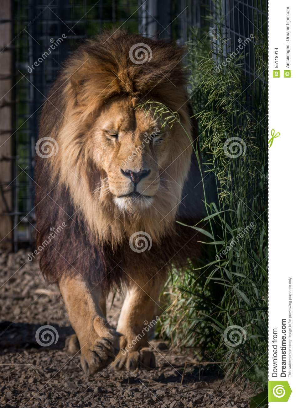 Lion, Africa and Africans on Pinterest