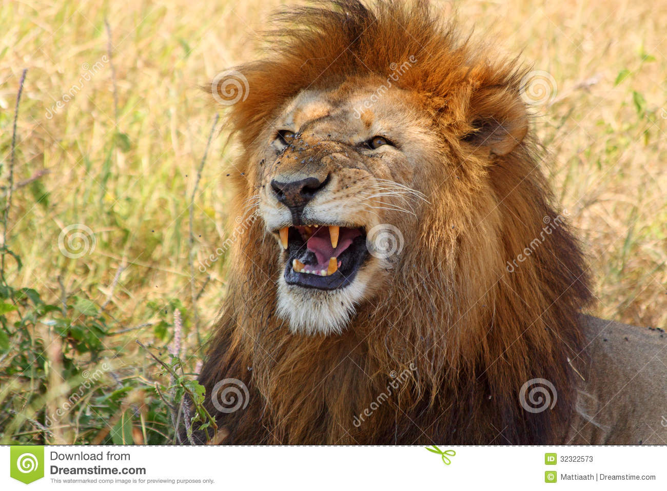 Male lion showing teeth stock image. Image of carnivore ...