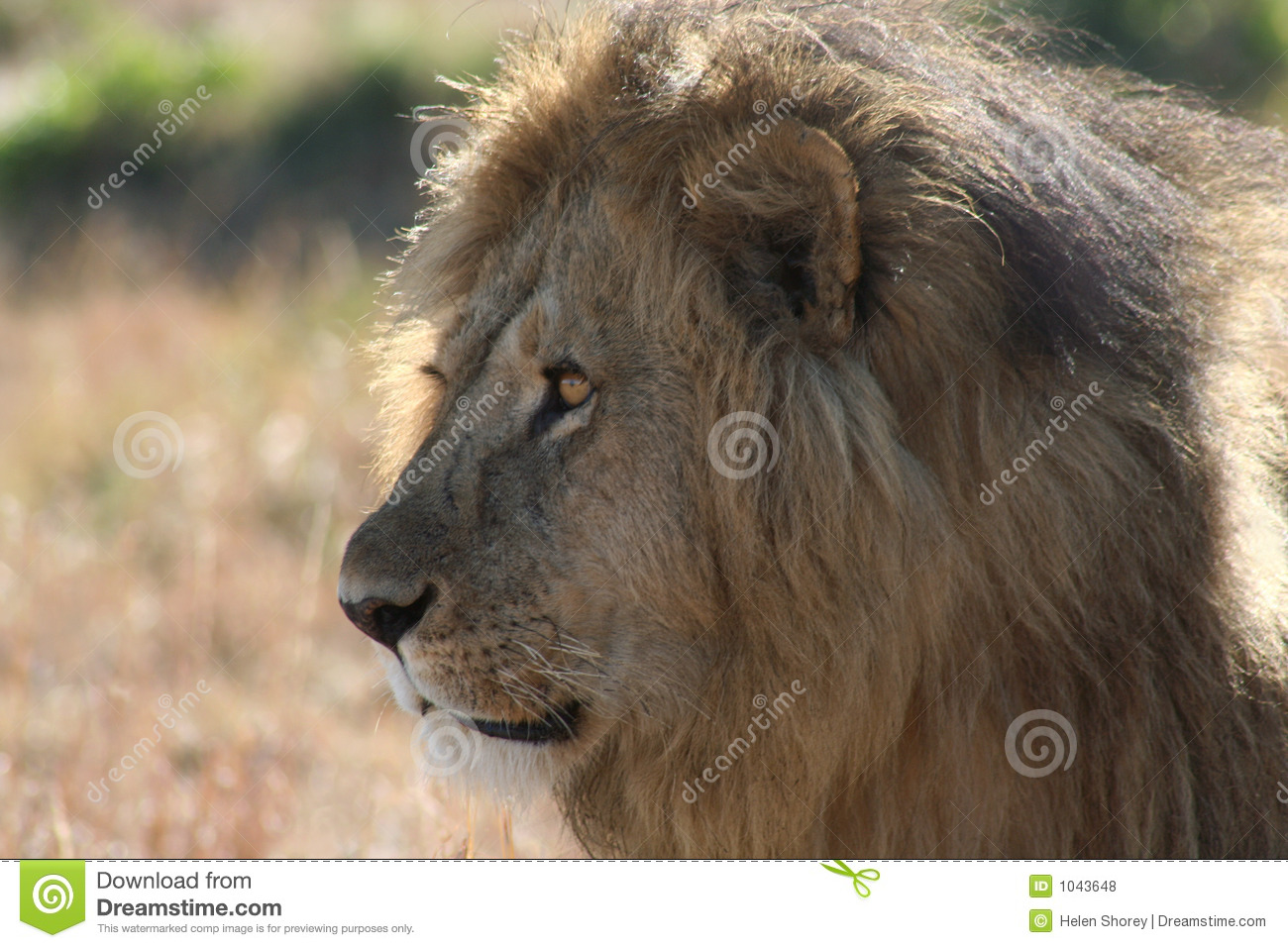 Male Lion side view stock photo. Image of africa, intent ...