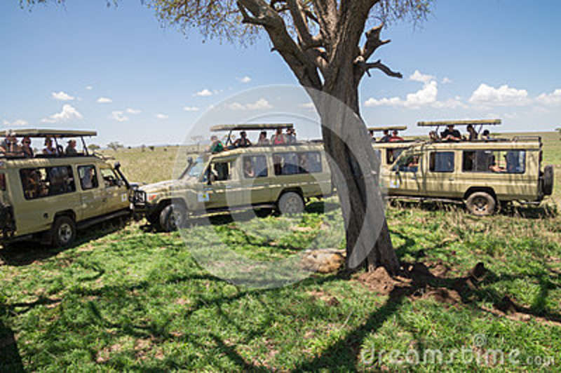 Male lion surrounded by safari tourists