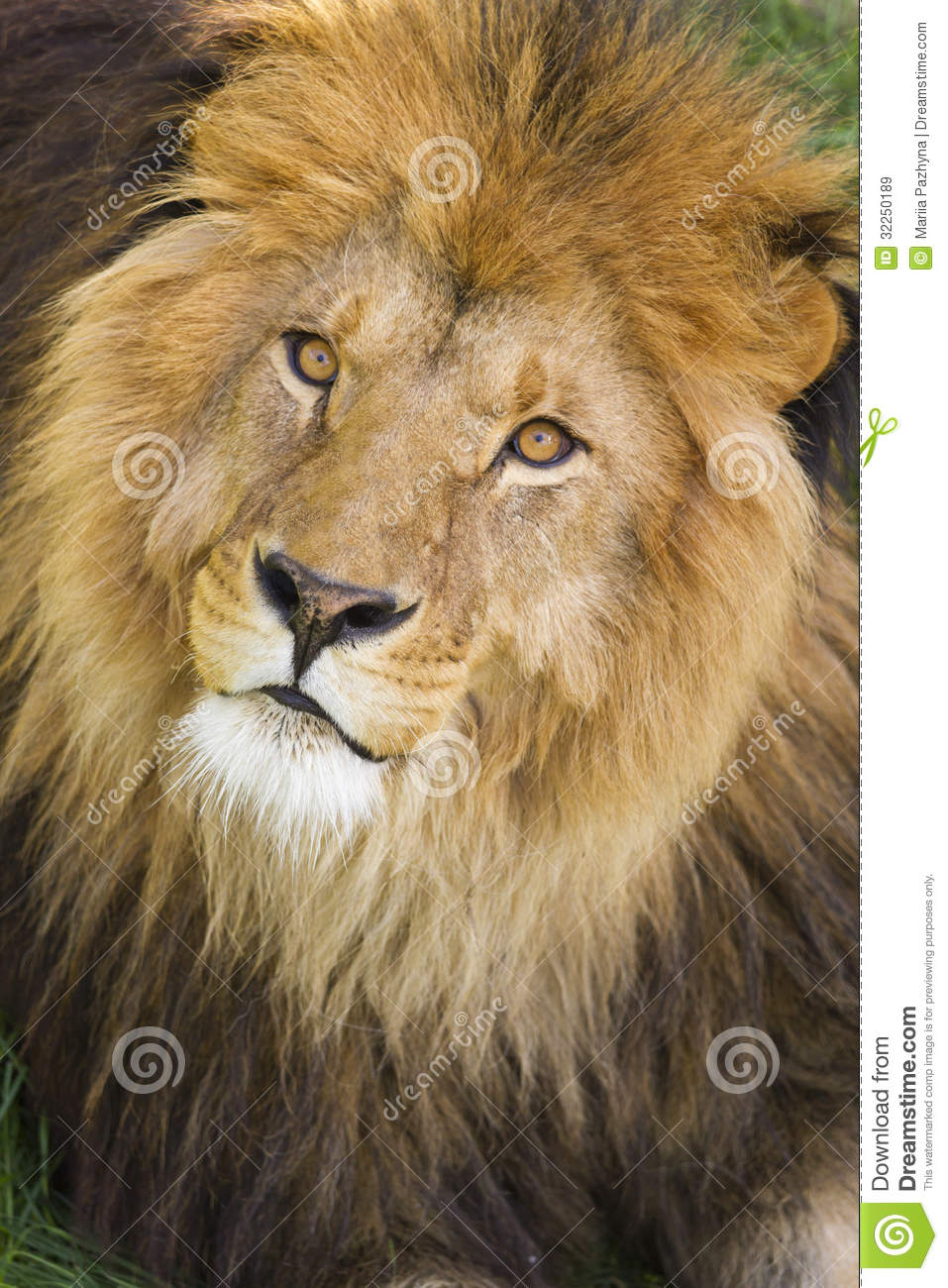 Male Lions Face Royalty Free Stock Images - Image: 32250189