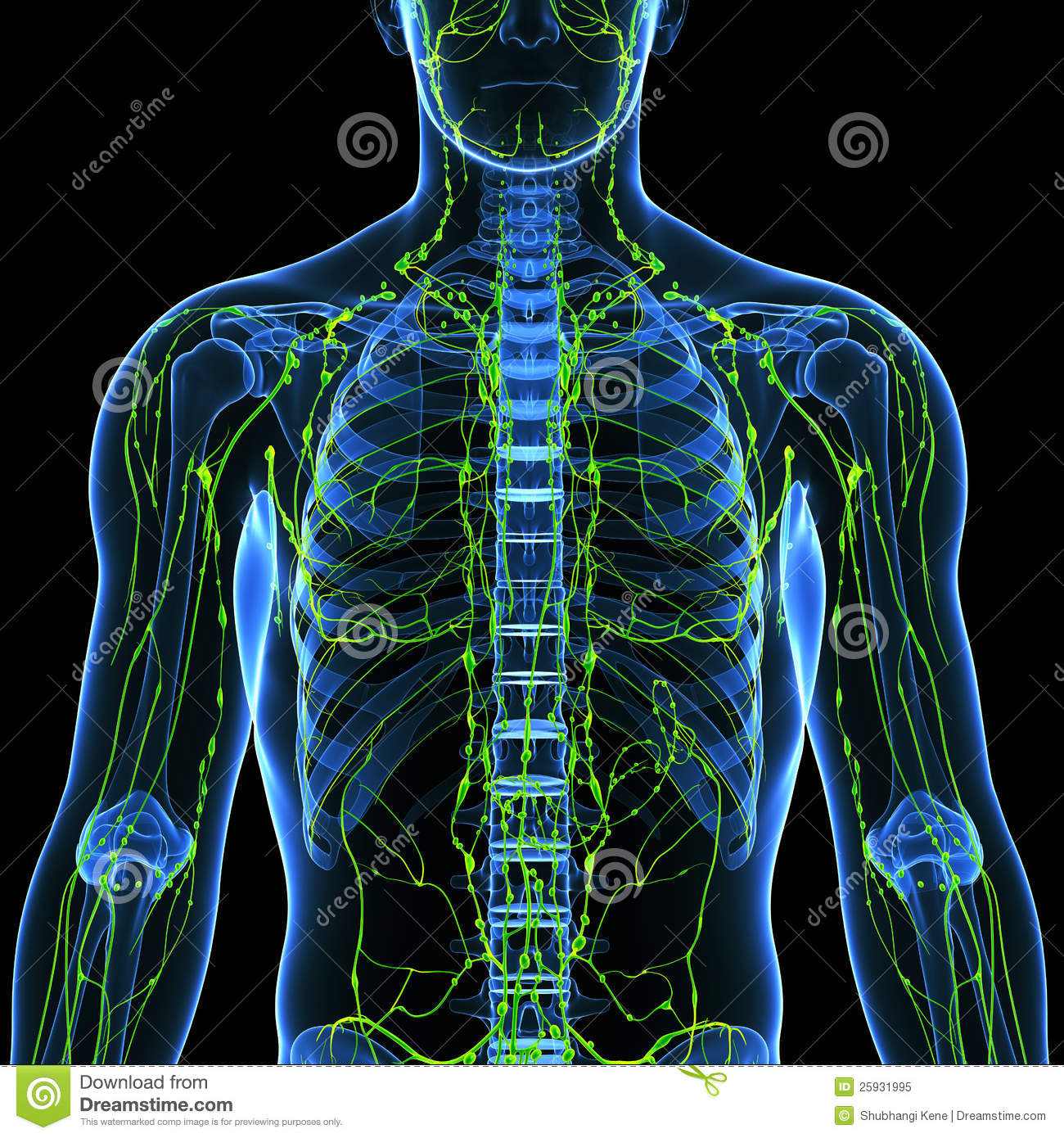 Male Lymphatic System With Heart Royalty Free Stock Photo