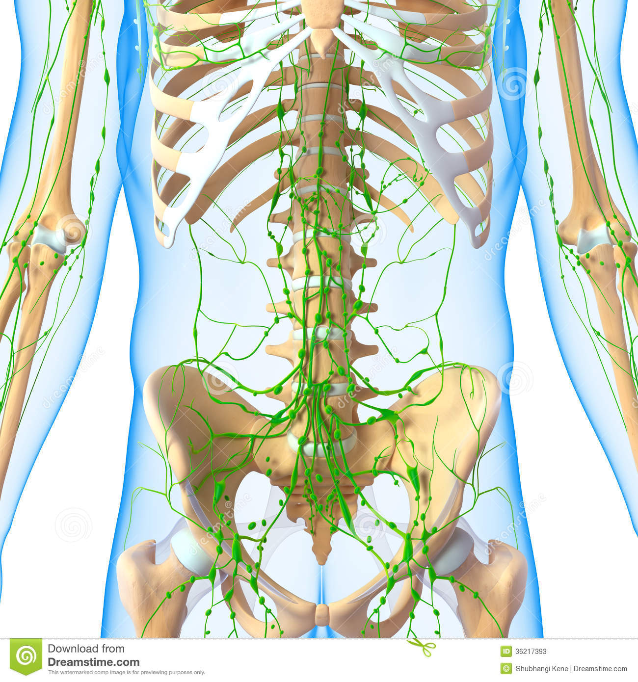 Male front view anatomy 3d illustration of the Lymphatic system with ...