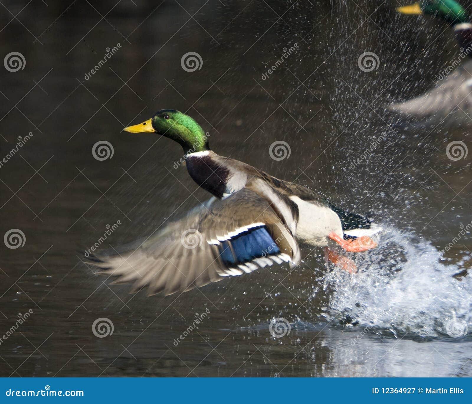 Male Mallard Duck In Flight Stock Image Image Of Wildlife Nature
