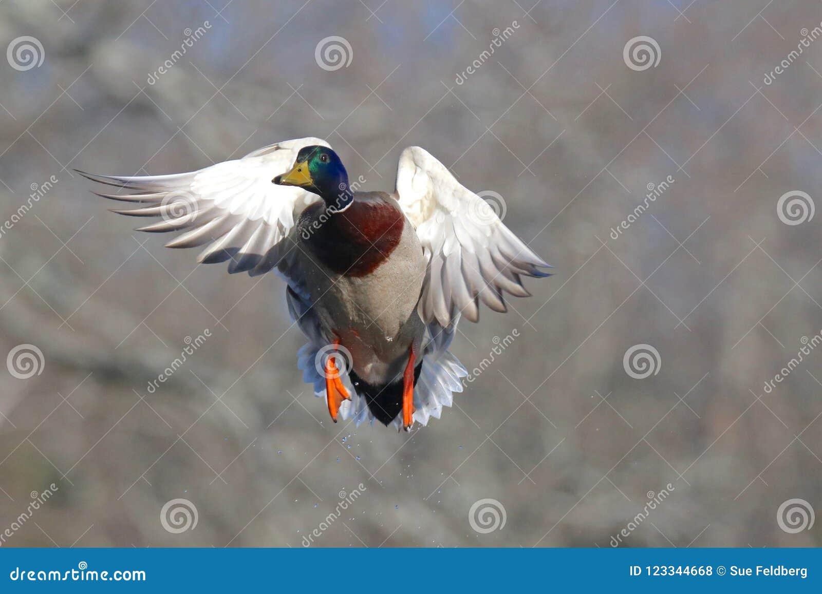 Male Mallard Duck In Flight In Fall Stock Photo Image Of Anas
