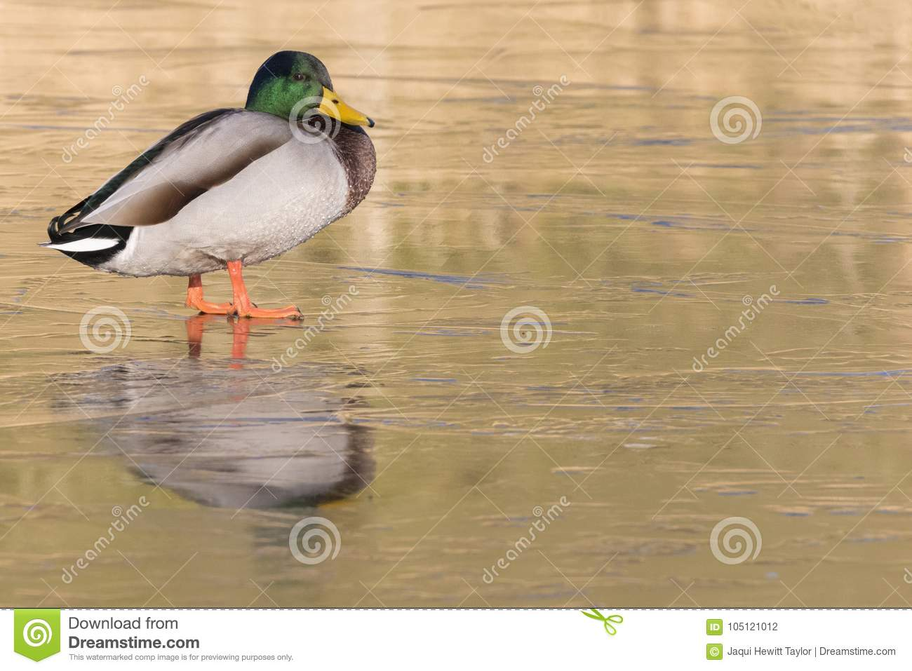 A male mallard duck standing on the ice : Southampton Common