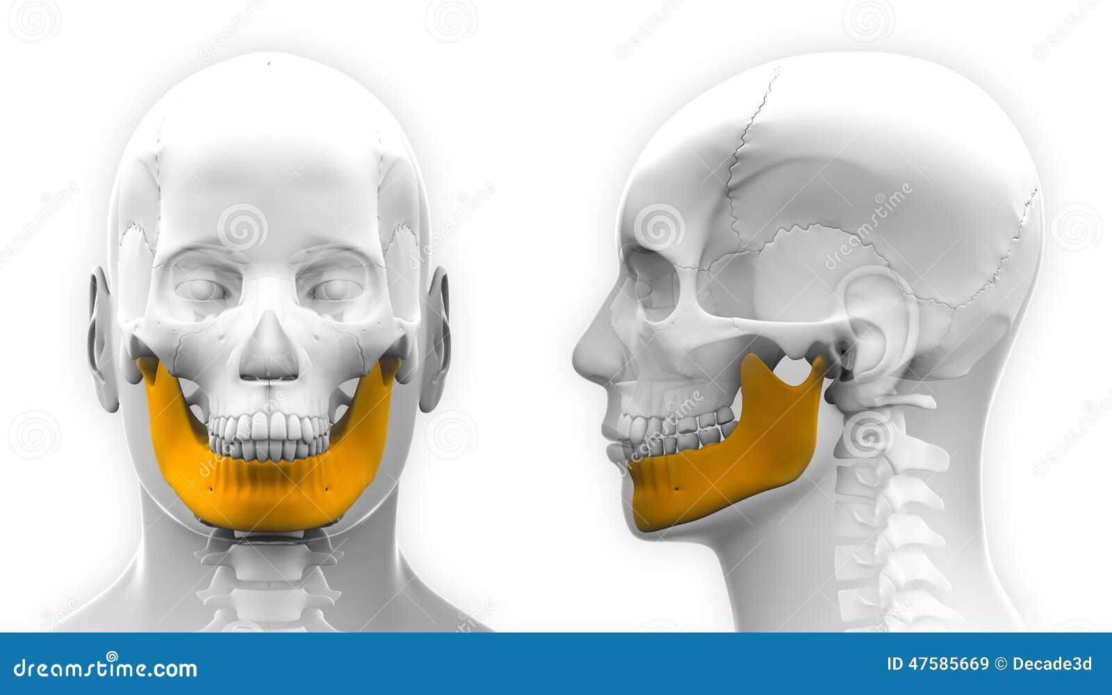 Male Mandible Bone Skull Anatomy Isolated On White Stock