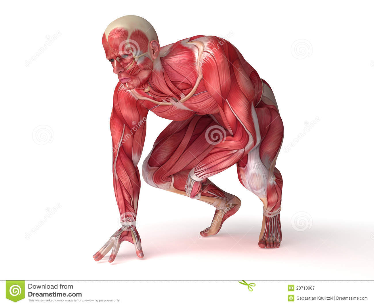 3d rendered scientific illustration of the males muscles.