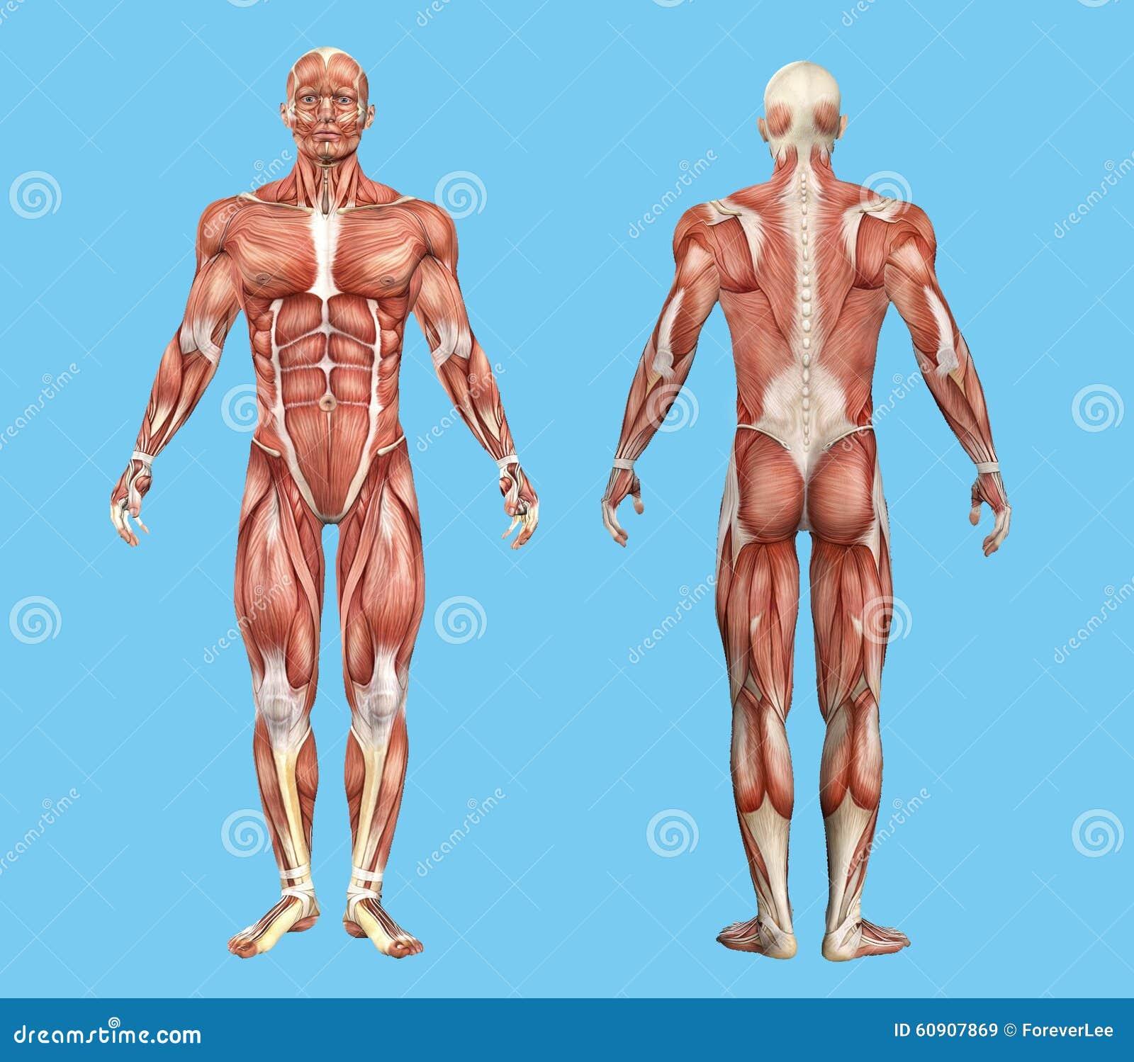 Male muscle anatomy. stock illustration. Illustration of torso ...