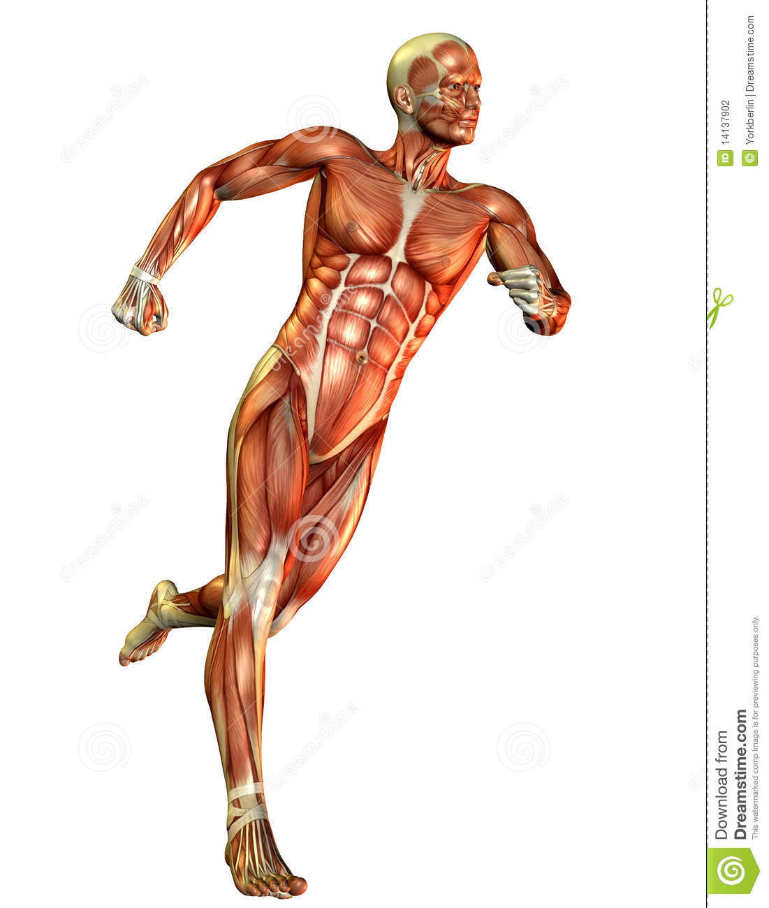 Male Muscle Building Course Study Stock Illustration - Illustration ...