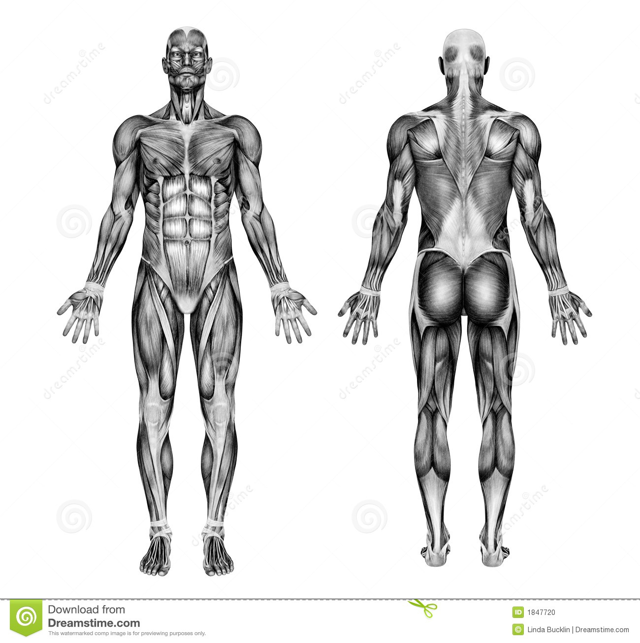 muscle anatomy drawing image collections - learn human anatomy image, Muscles