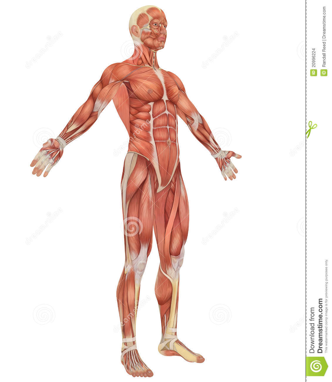 Male Muscular Anatomy Angled Front View Stock Illustration