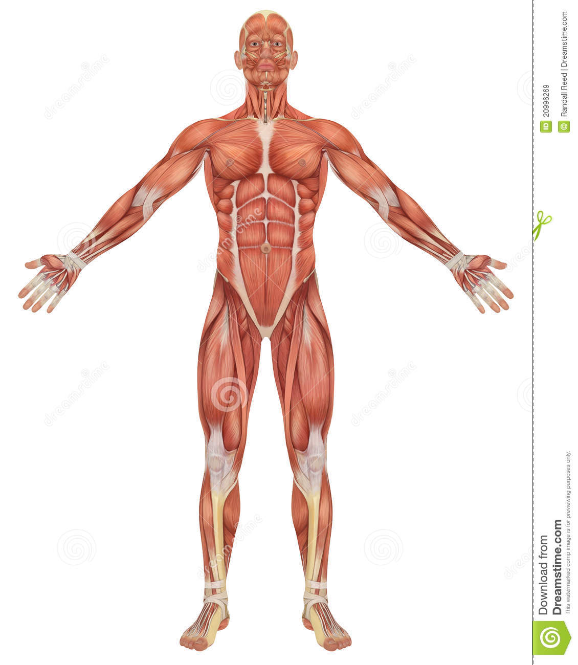 Male Muscular Anatomy Front View Stock Illustration Illustration
