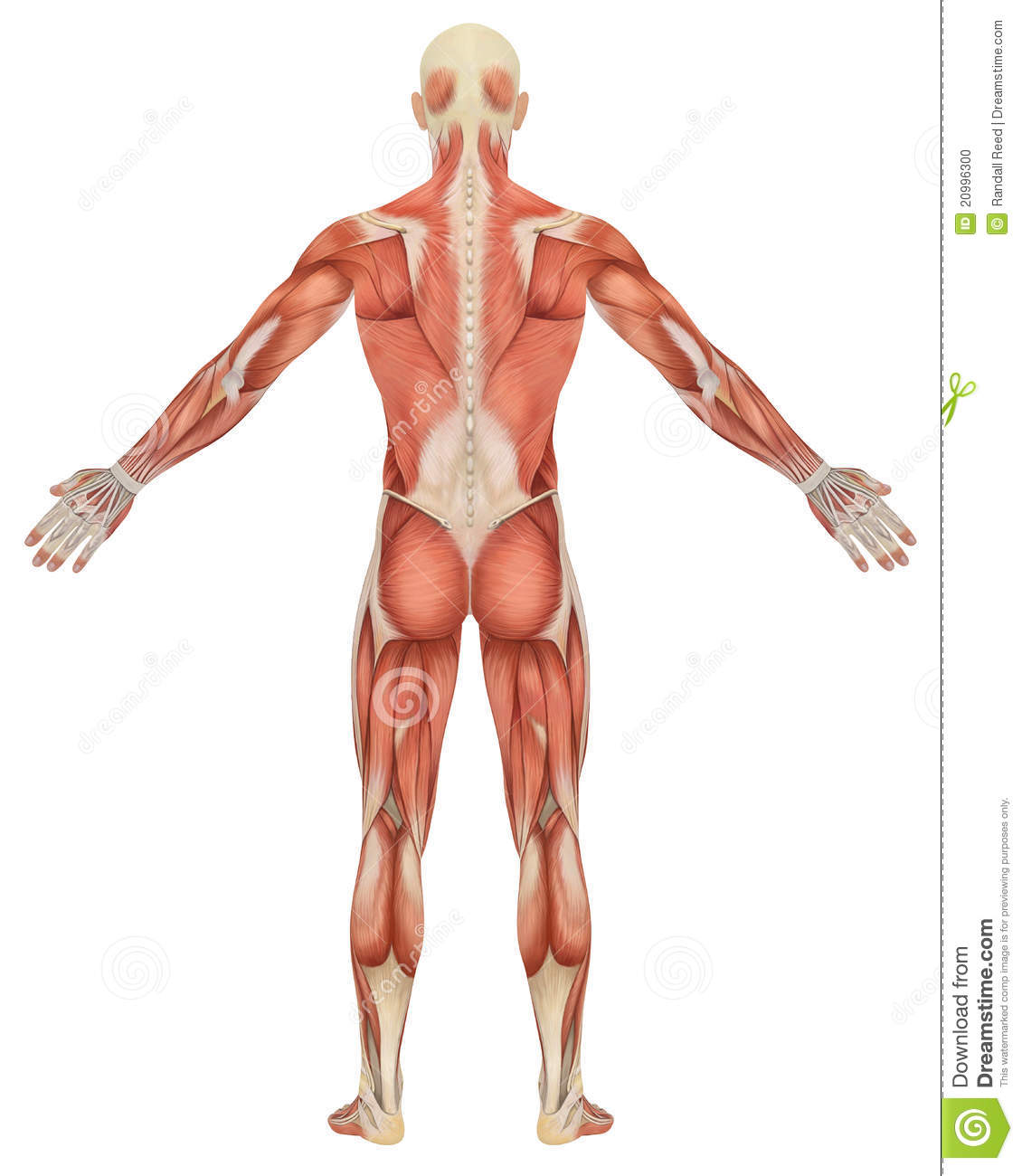 Male Muscular Anatomy Rear View Stock Illustration Illustration Of