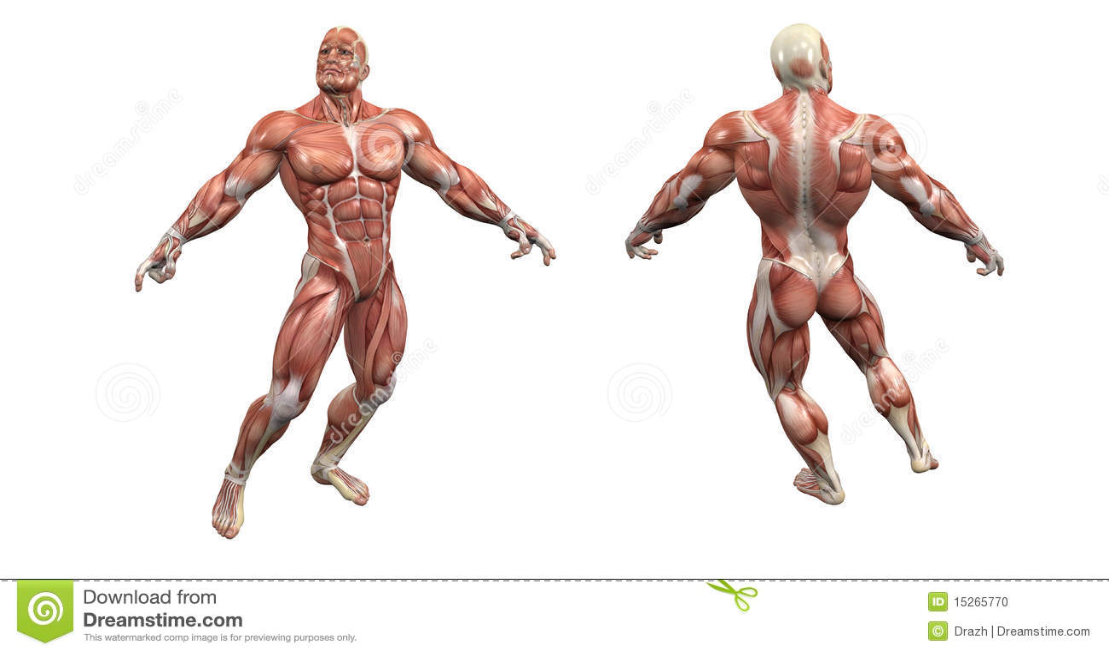 Atractivo Anatomía Muscular 3d Patrón - Anatomía de Las Imágenesdel ...