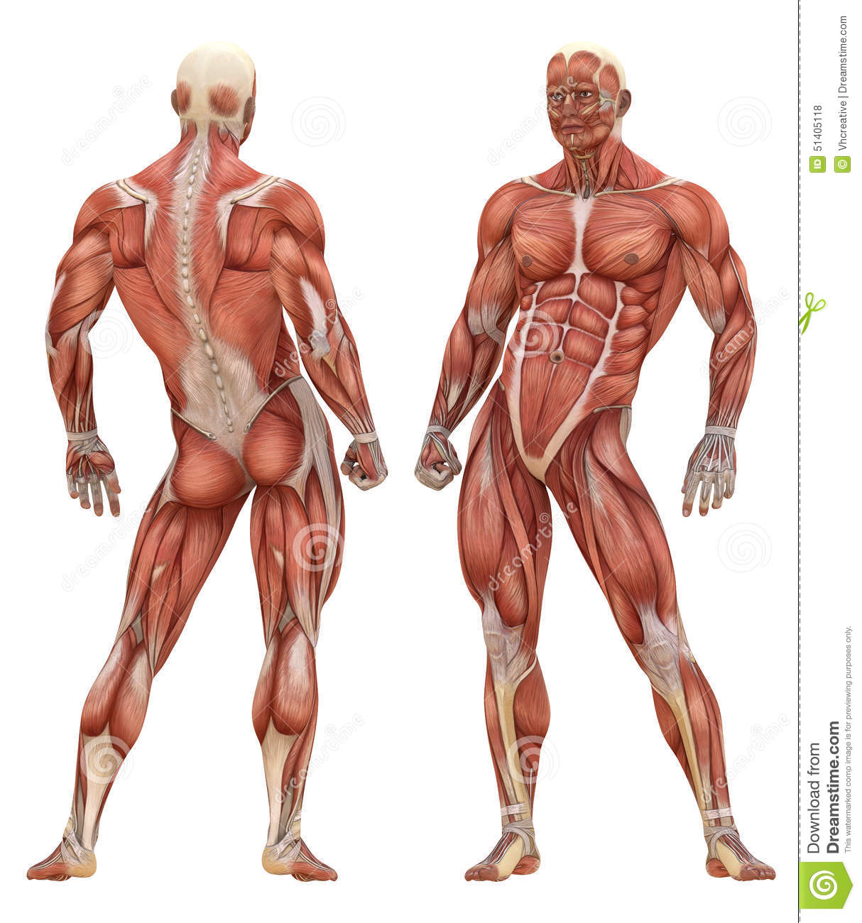 Male Muscular System Anatomy
