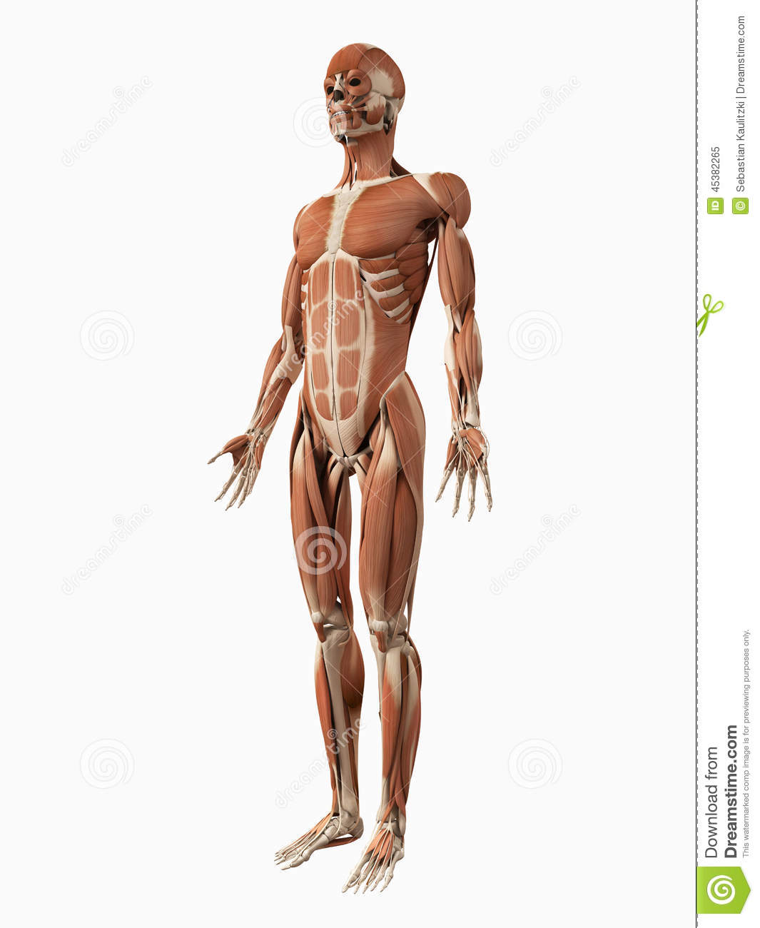 The Male Muscular System Stock Illustration Illustration Of Muscle