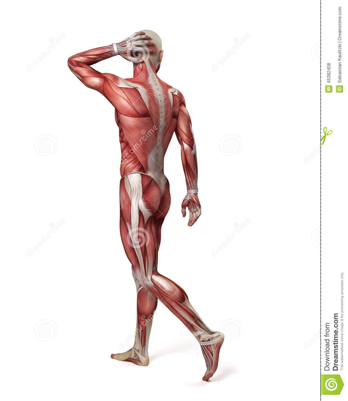 The Male Muscular System Stock Illustration Illustration Of Science