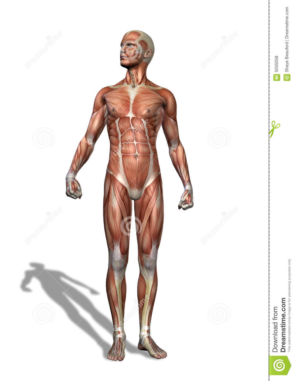Male Musculature Standing