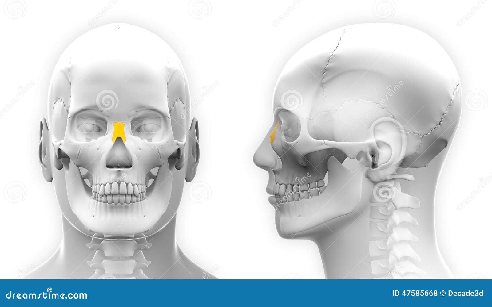 Male Nasal Bone Skull Anatomy - Isolated On White Stock Illustration ...