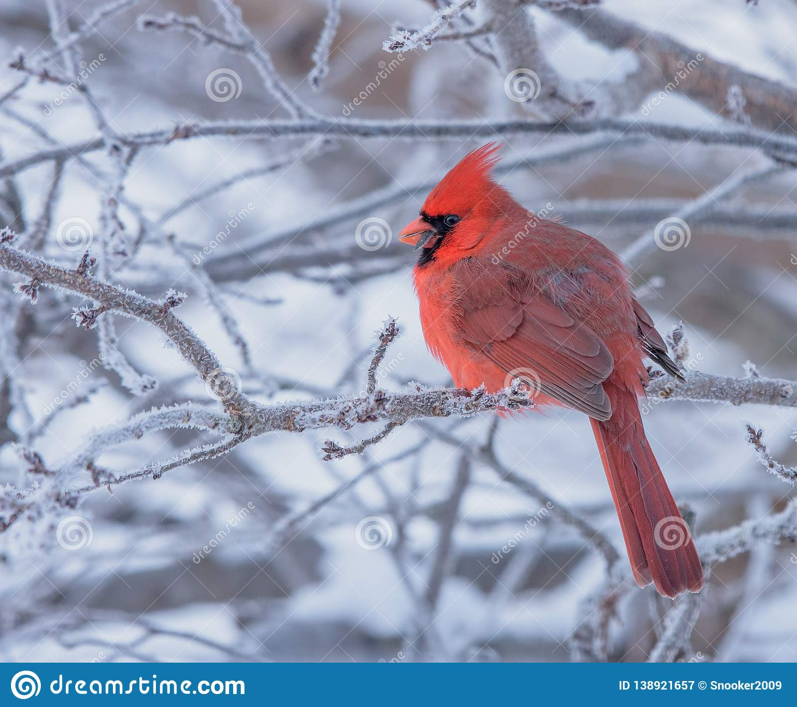 Male Northern Cardinal Perched On A Frosty Branch Stock