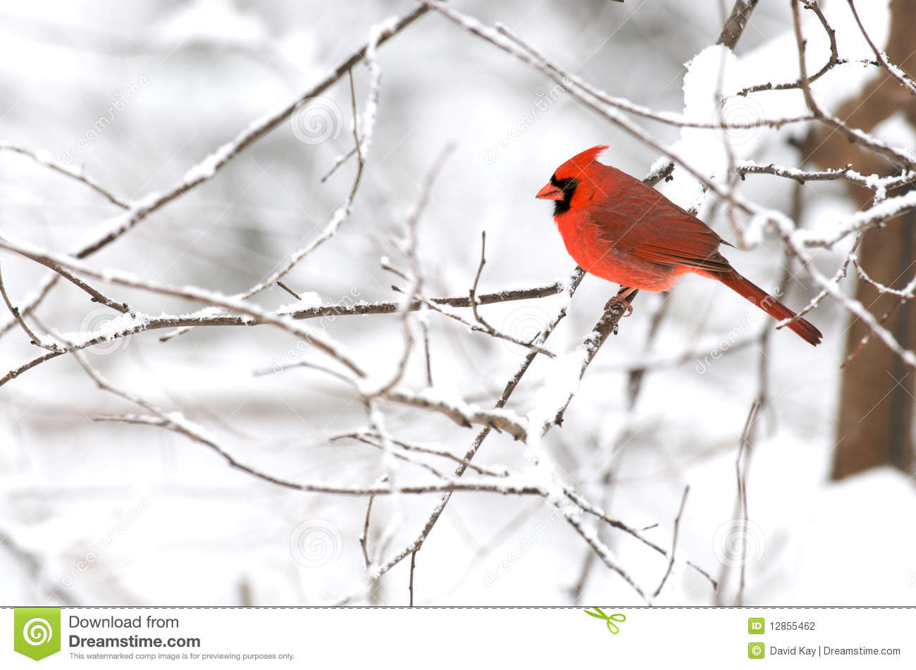 Male northern cardinal in wintery background stock photo - Winter cardinal background ...
