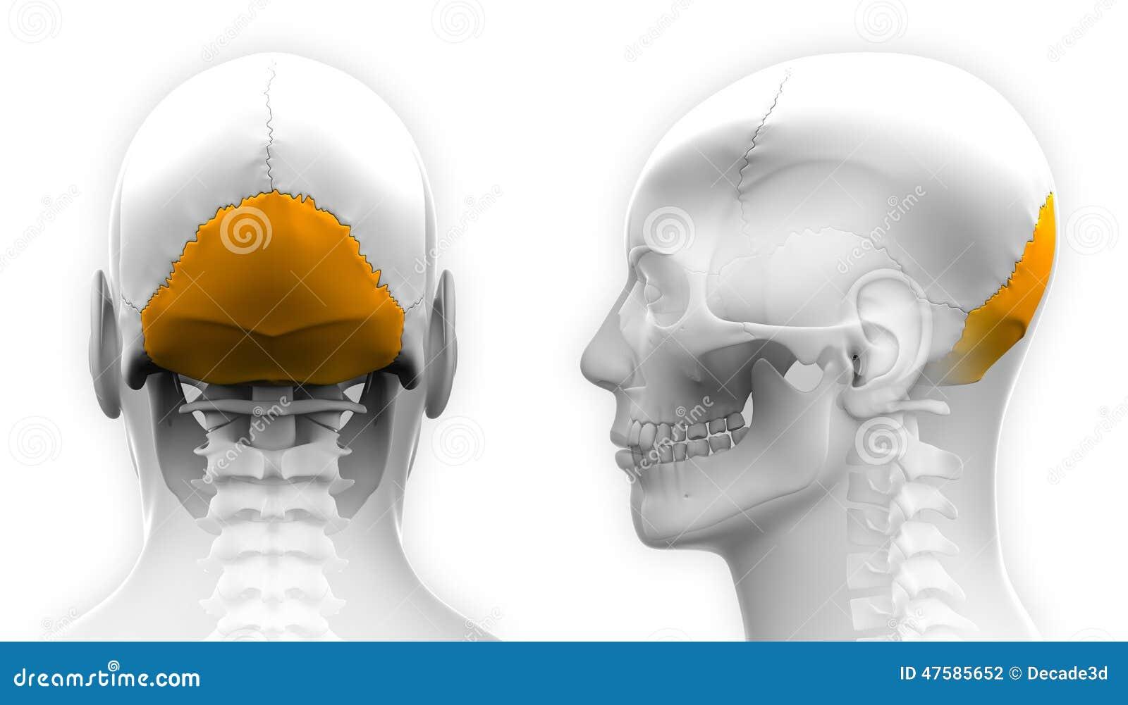 Male Occipital Bone Skull Anatomy Isolated On White Stock