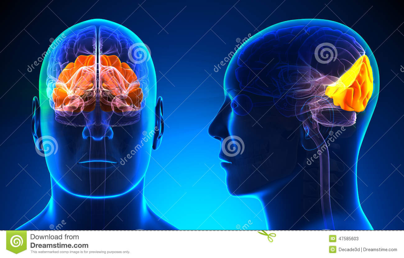 male occipital lobe brain anatomy - blue concept stock illustration