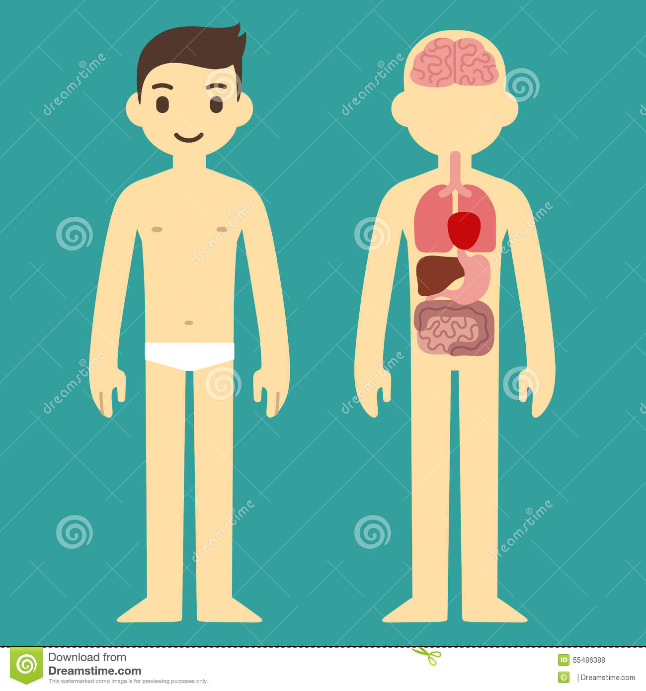 Male organ chart stock illustration. Illustration of illustration ...