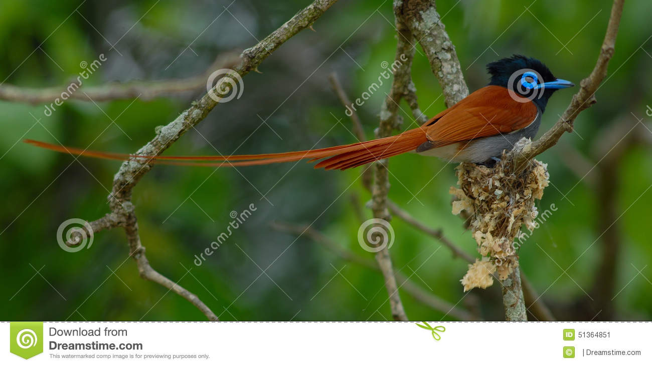 Male Paradise Flycatcher Stock Image Image Of Building