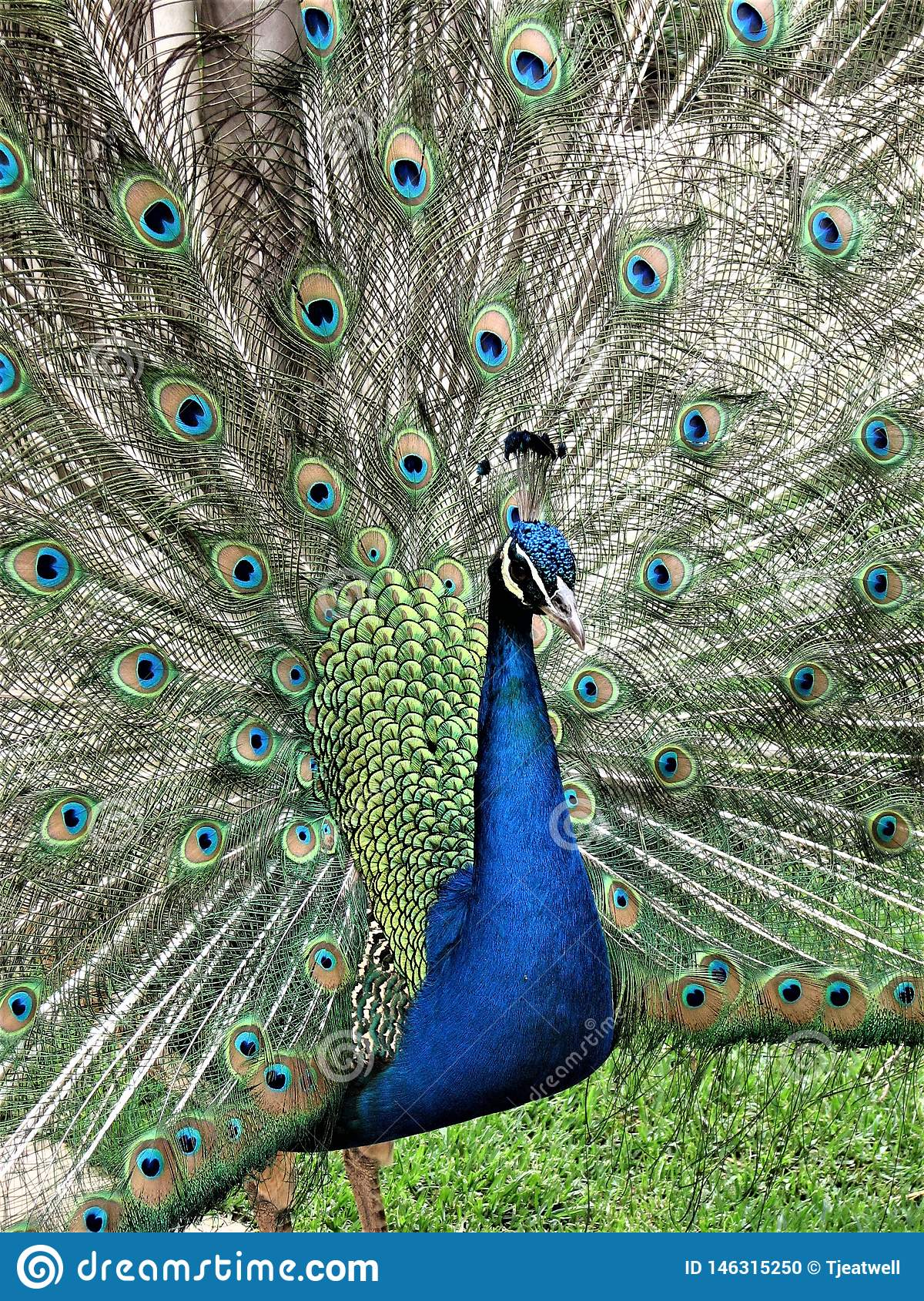 Male Peacock with feathers spread out