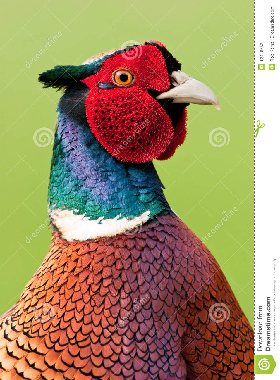 More similar stock images of ` Male Pheasant Close up against Green ...