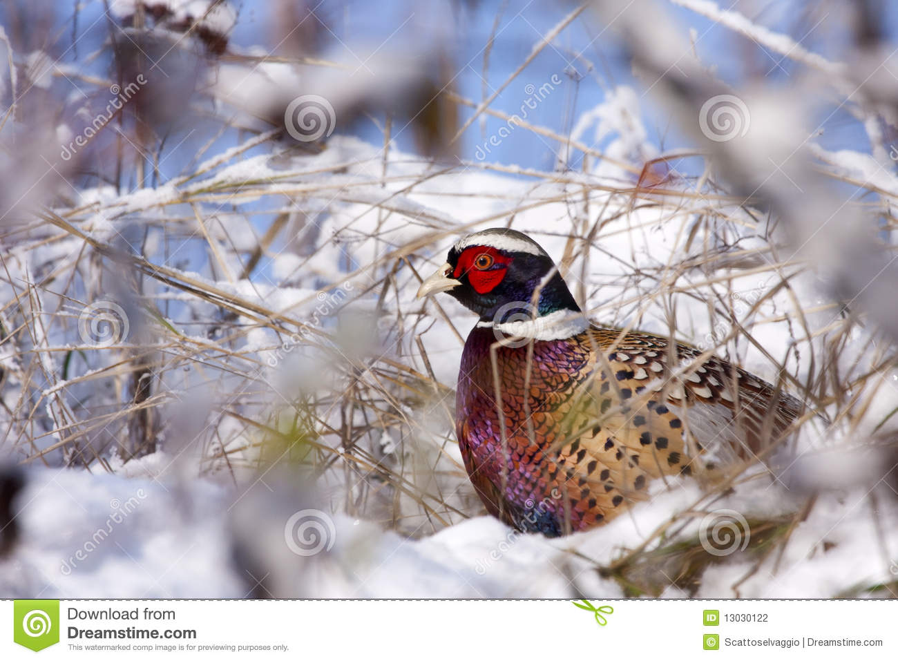 Male Pheasant on snow, (Phasianus colchicus mongolicus).