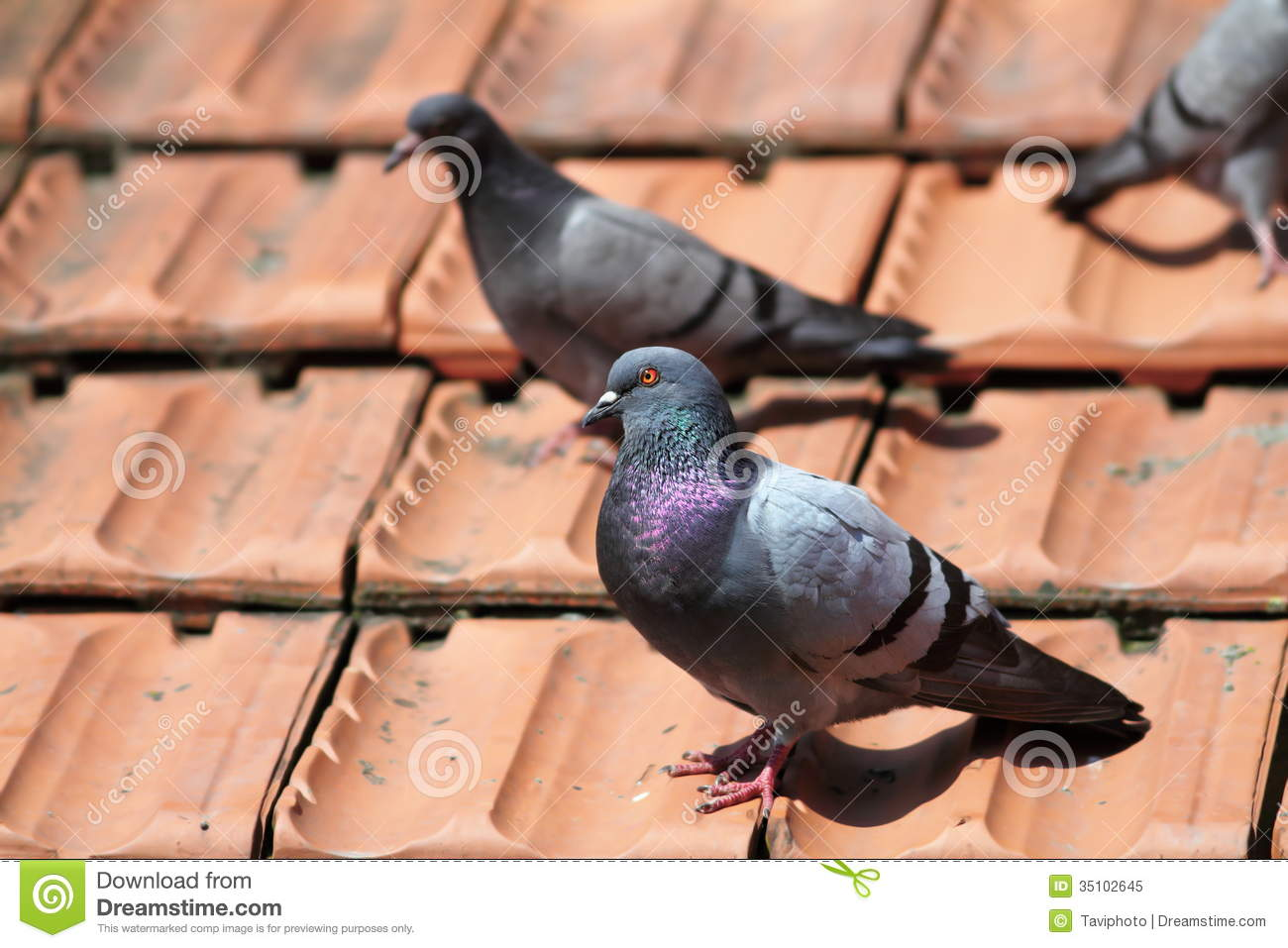 Male Pigeon On The Roof Tiles Royalty Free Stock Photo