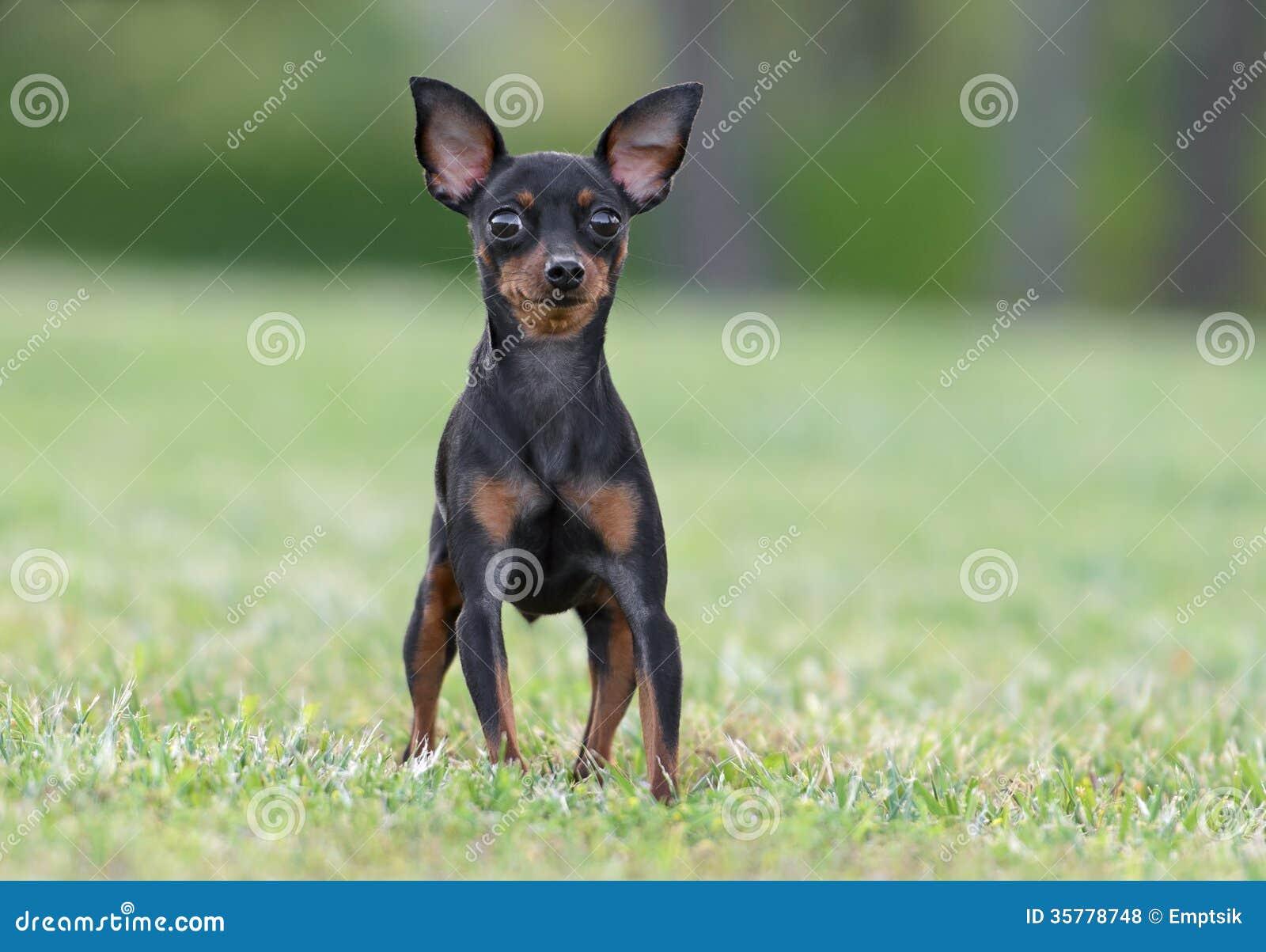 male pincher toy dog stock photo 35778748 megapixl