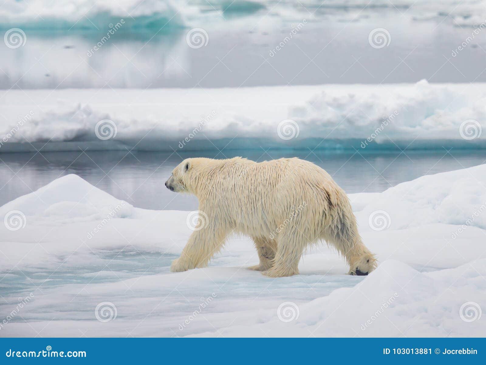 Male polar bear walking stock image  Image of reducing