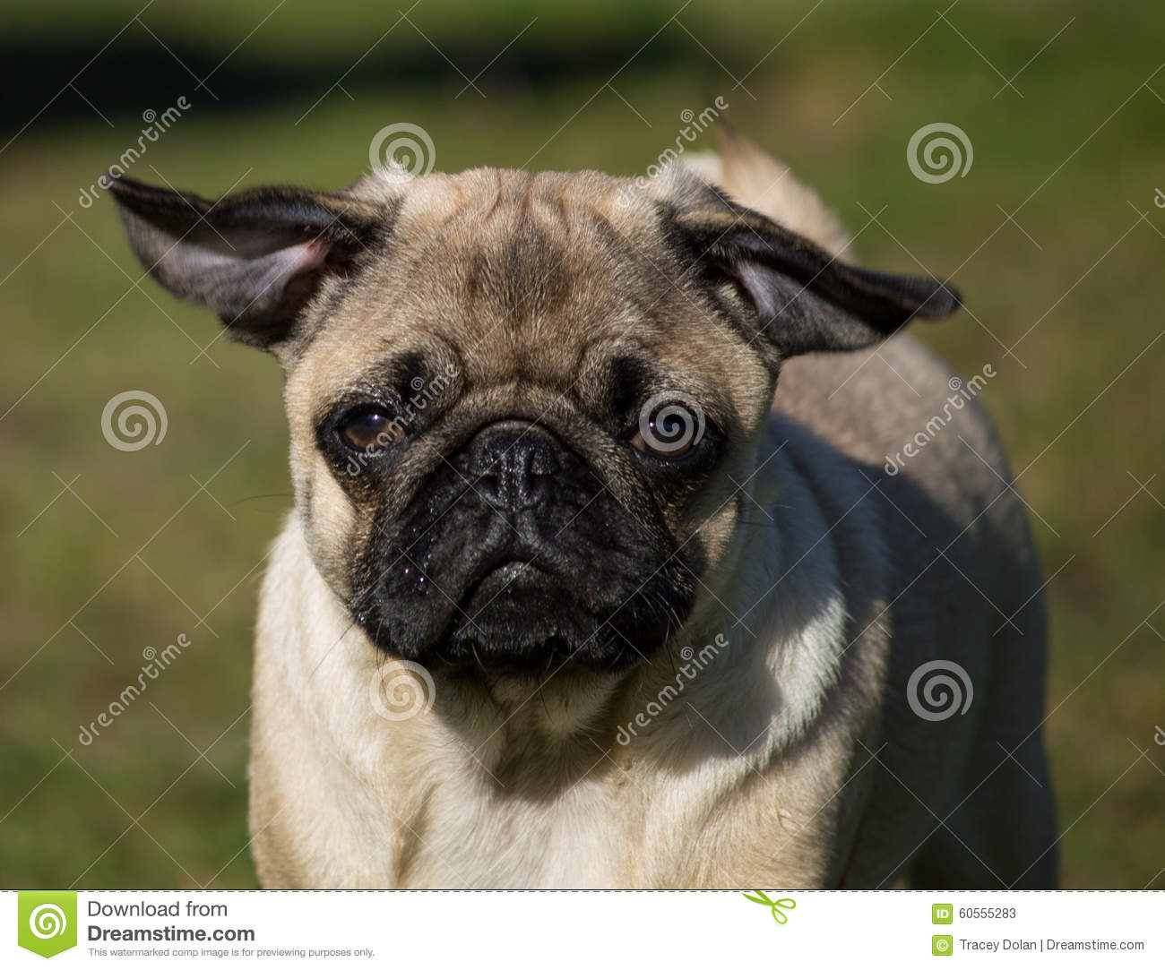 Male Pug puppy stock image  Image of field, background