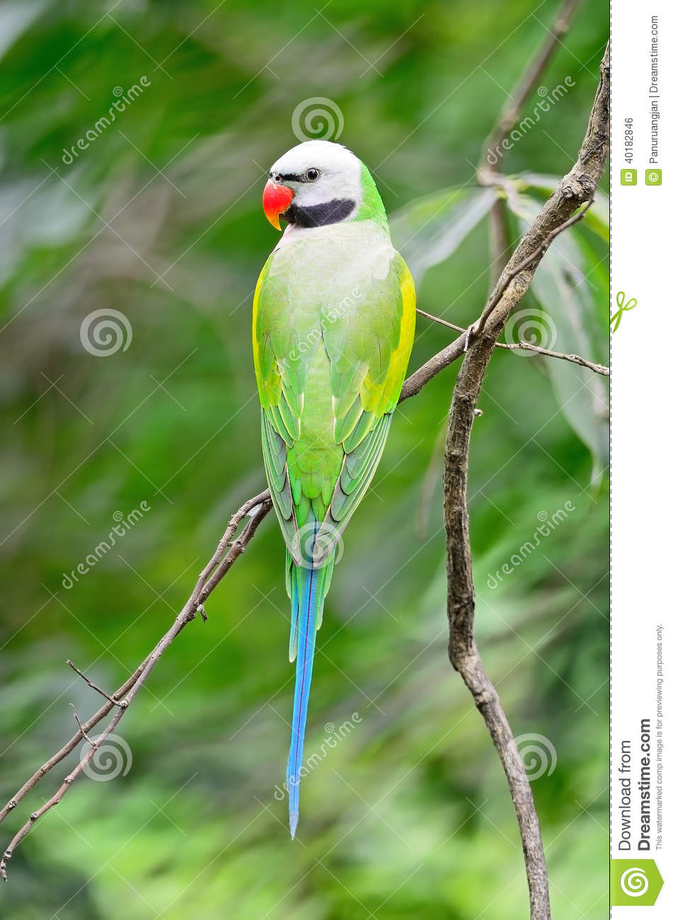 Male Red-breasted Parakeet stock photo  Image of tropical