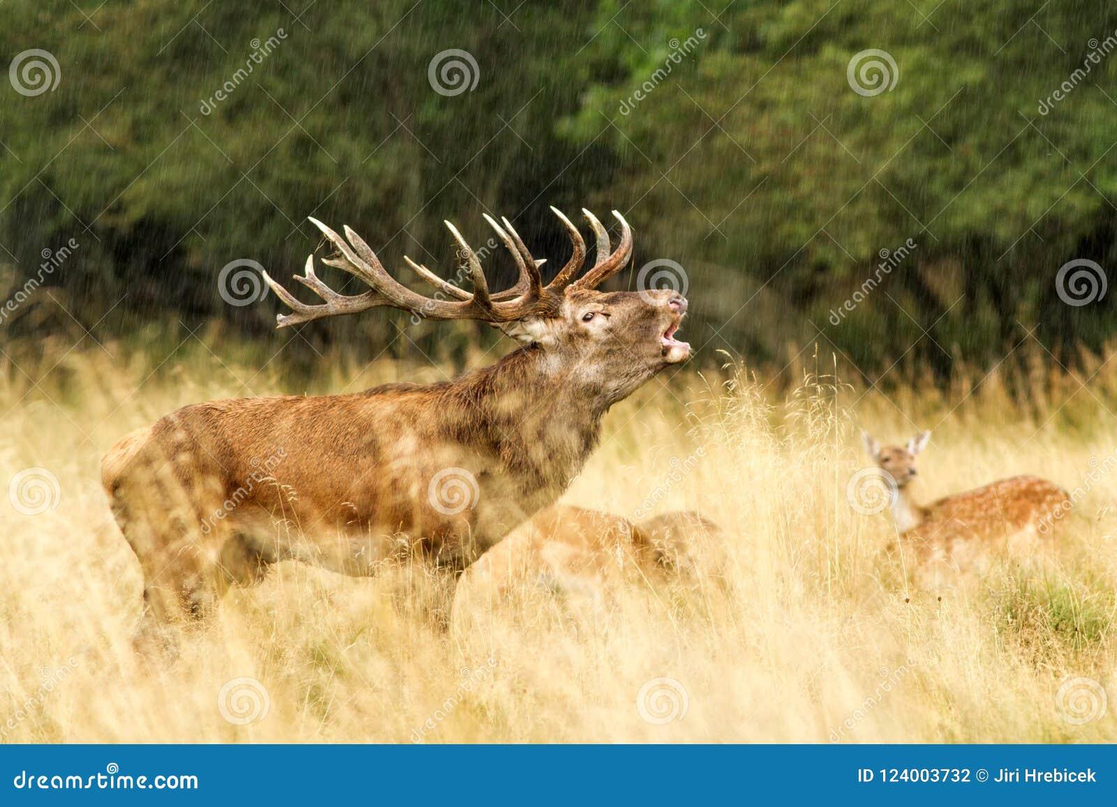 Male red deer Cervus elaphus with huge antlers during mating season in Denmark