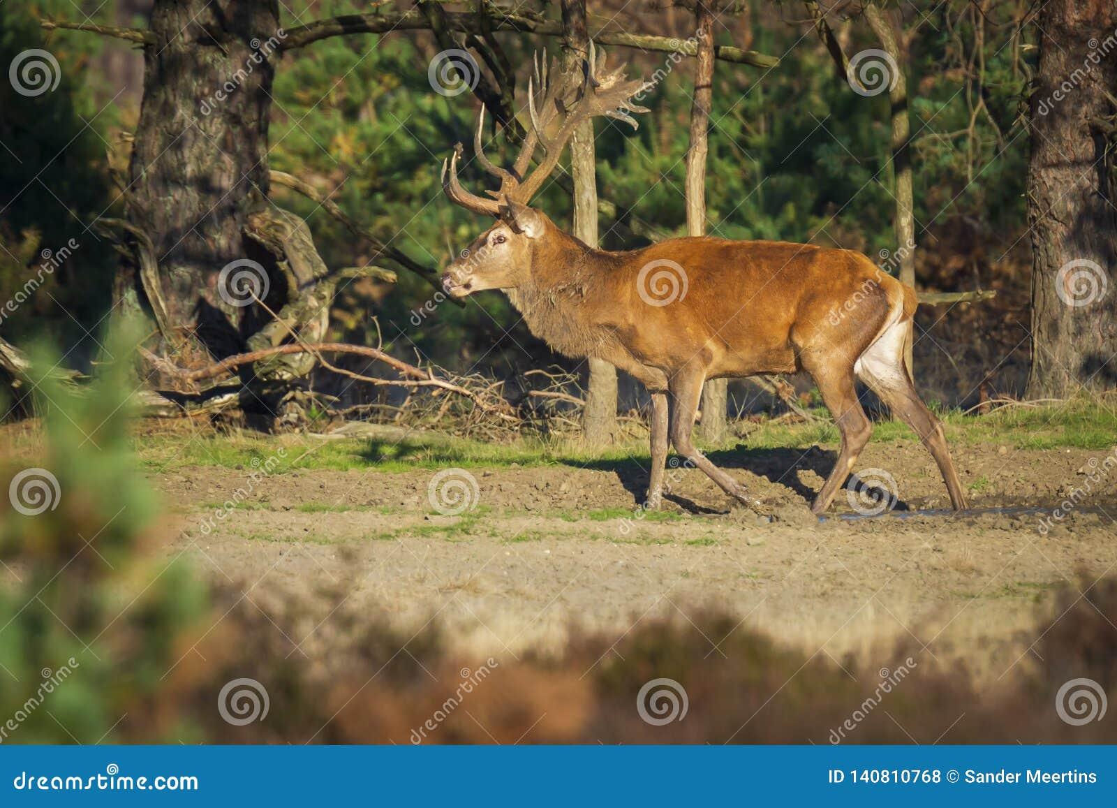 Male red deer, cervus elaphus, during rutting season