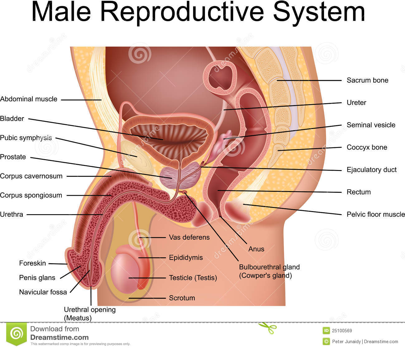 female and male reproductive systems - sonography folder, Human Body
