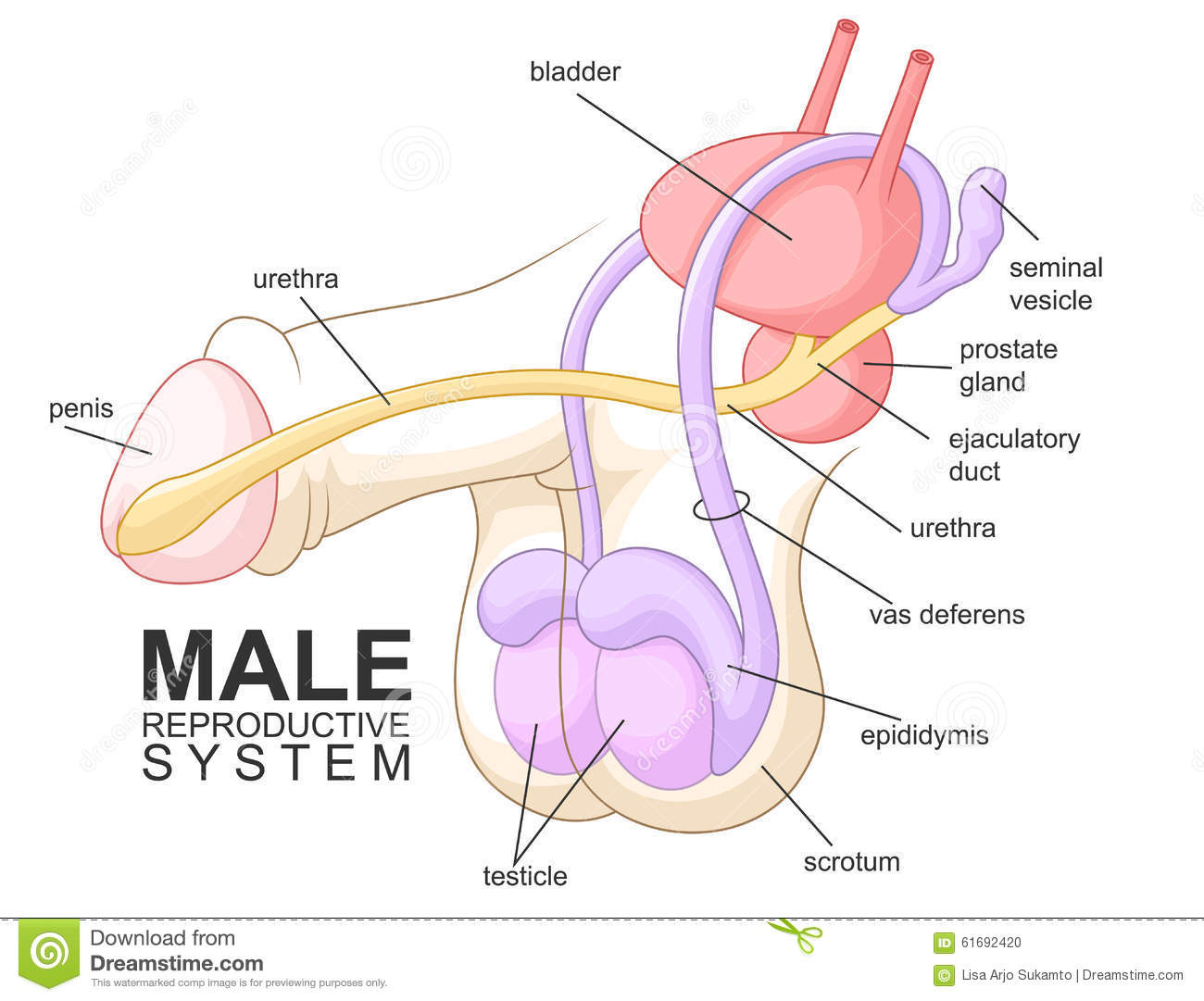 Male Reproductive System Stock Vector Illustration Of Diagram