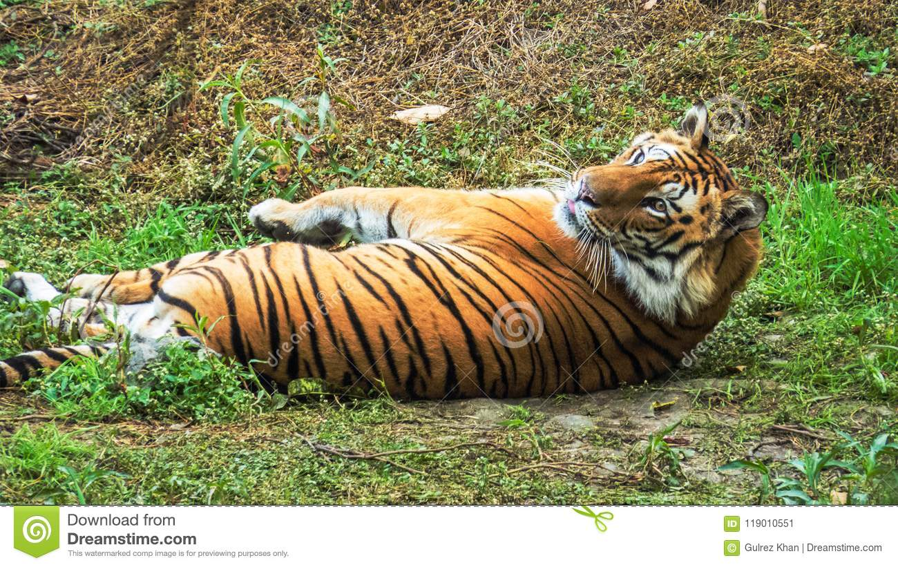 Male royal bengal tiger comfotably relaxing on grass