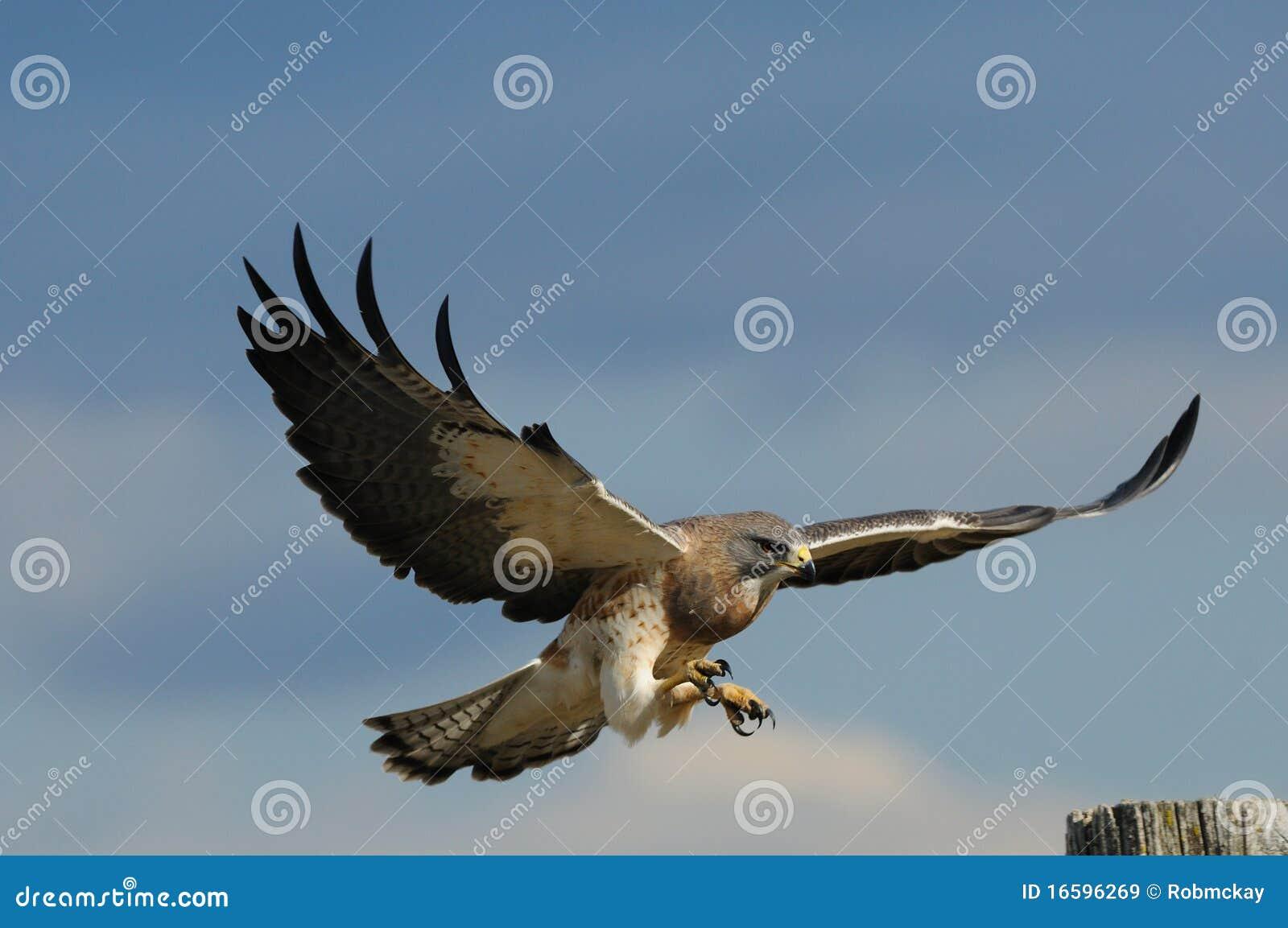 Male s swainson för flyghök