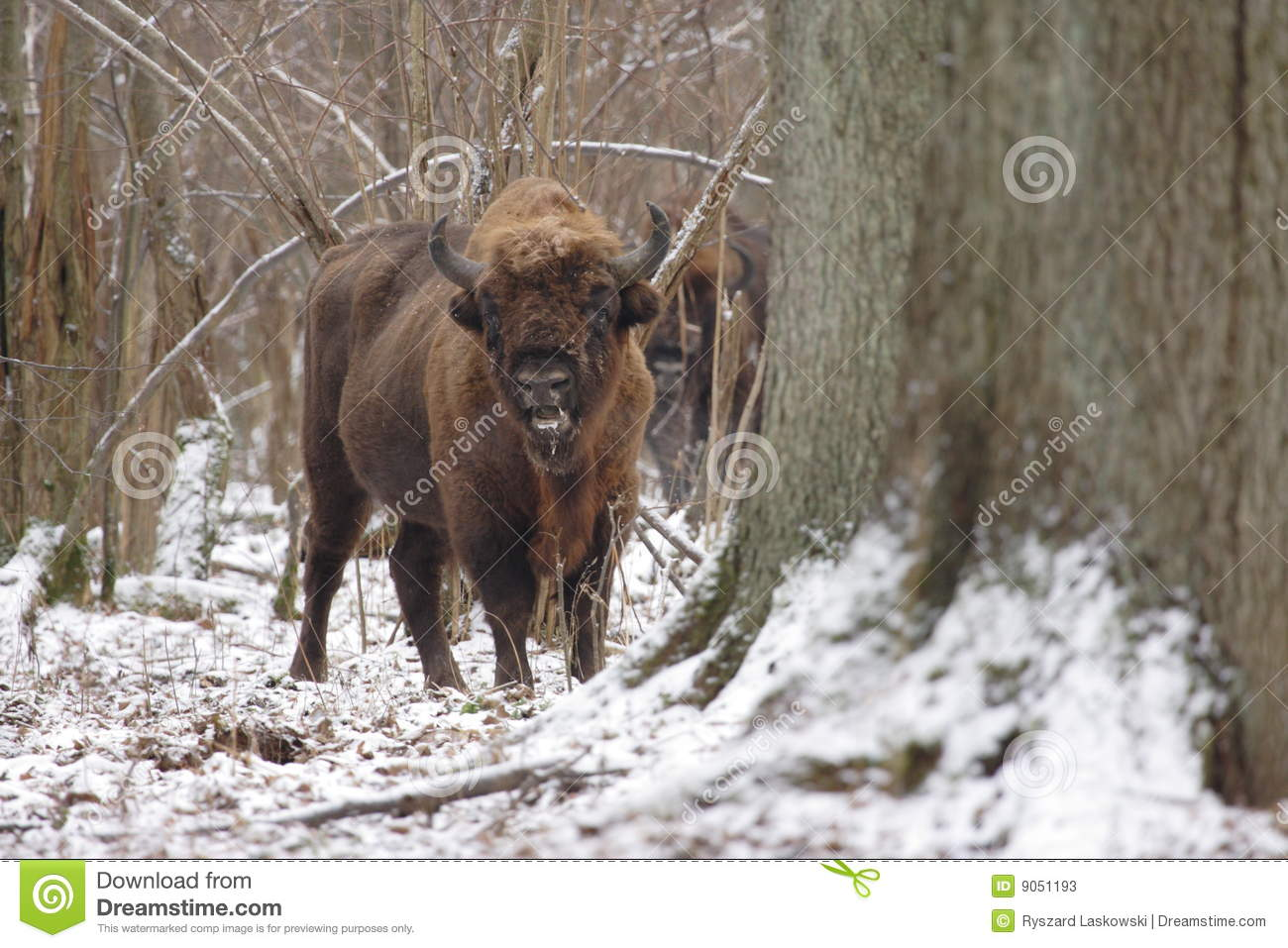Male s-wisent
