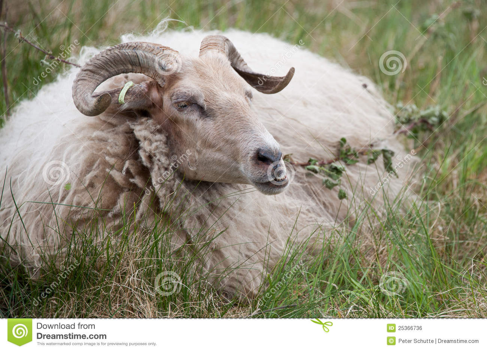 Male Sheep Royalty Free Stock Image - Image: 25366736